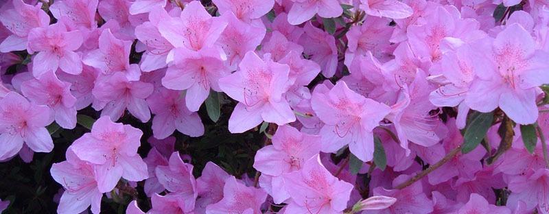 Amuleti fiori e piante portafortuna il lato g - Piante portafortuna ...