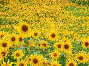 I girasoli sono i fiori preferiti di Magna...bentornata a casa!