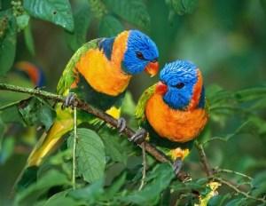 pappagalli_5